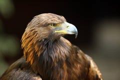 Golden Eagle. Portrait of a Golden Eagle Royalty Free Stock Photo