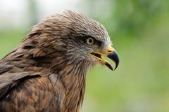 Golden eagle. Portrait of a golden eagle (Aquila chrysaetos Stock Photography