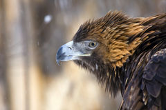 Golden eagle. Portrait of a golden eagle (Aquila chrysaetos stock photography