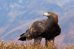 Golden Eagle. (Aquila chrysaetos) amongst the heather in the Scottish Highlands royalty free stock image