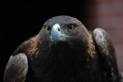 Free Golden Eagle Stock Photos - 2418753