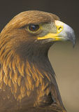 Golden Eagle. The golden eagle is one of the most magnificent birds of prey in the UK Stock Photos