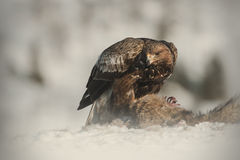 Golden Eagle Royalty Free Stock Photography