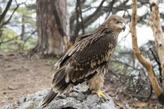 Golden eagle. A beautiful golden eagle sitting on a rock Royalty Free Stock Photography