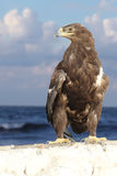 Golden eagle. Over cloudy sky Stock Image