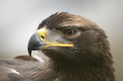 The Golden Eagle Stock Photo