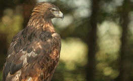 Golden Eagle. Perched in a tree Royalty Free Stock Photos