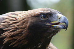 Golden eagle. Eagle prepared for the attack Royalty Free Stock Photography