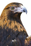 Golden Eagle. A Golden eagle set on a white background Royalty Free Stock Photography