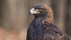 Free Golden Eagle Royalty Free Stock Photo - 36947145