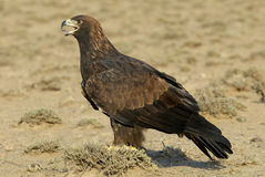 Free Golden Eagle Royalty Free Stock Image - 3930176