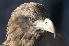 Golden eagle. Head of golden eagle (Aquila chrysaetos Stock Photo