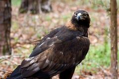 Golden Eagle stock photos