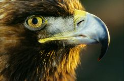 Golden eagle. Looking at the sun Royalty Free Stock Image
