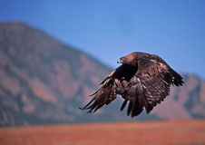 Golden eagle. In flight by Rocky Mountain foothills Royalty Free Stock Photo