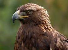Golden Eagle. Close-up shot Royalty Free Stock Images