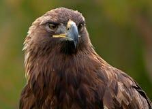 Golden Eagle. Close-up shot Stock Image