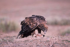Golden eagle. On prey,Colorado Stock Photos