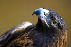 Golden Eagle. Close up of an Eagle Stock Images