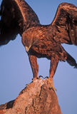 Golden eagle. Landing on rock pinnacle. Colorado Royalty Free Stock Images