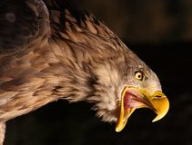 Golden Eagle. Close-up picture of a Screaming Golden Eagle Stock Images