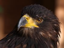 Golden Eagle. Close-up picture of a Golden Eagle head Stock Photo