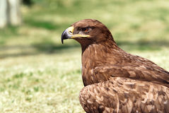 Golden eagle. Portrait of an golden eagle (Aquila chrysaetos Royalty Free Stock Images
