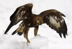 Golden eagle. In the snow Royalty Free Stock Photography