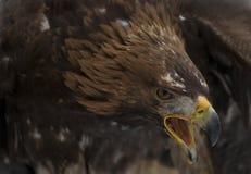 Golden eagle. Close up portrait of the golden eagle Stock Images