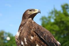 Golden eagle stock photography