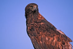 Golden eagle against blue sky royalty free stock photography