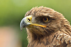 Golden eagle. Amazing portrait of golden eagle in the park Royalty Free Stock Images