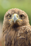 Golden eagle. Amazing portrait of golden eagle in the park Stock Images