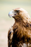 Golden Eagle. Aquila chrysaetos. Close shot of a golden eagles head royalty free stock images