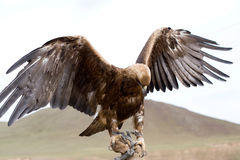 Golden Eagle. Aquila chrysaetos. Golden eagle with spread wings on hand stock photos