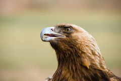 Golden Eagle. Aquila chrysaetos. Head of golden eagle against blurred background royalty free stock photo