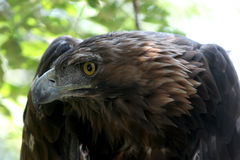 Golden eagle ( aquila chrysaetos ) Stock Photography