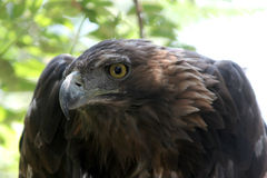 Golden eagle ( aquila chrysaetos ) Stock Photo