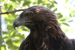 Golden eagle ( aquila chrysaetos ) Royalty Free Stock Images
