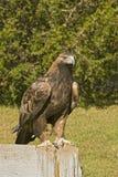 Golden eagle (aquila chrysaetos). Golden eagle on fence post Stock Photo