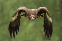 Golden Eagle (Aquila chrysaetos). In flight Stock Photography