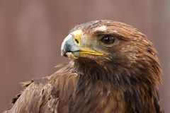 Golden Eagle (Aquila chrysaetos) Royalty Free Stock Images