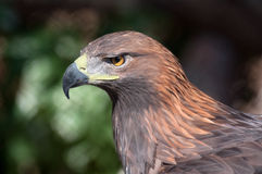 Golden eagle - (Aquila chrysaetos) Stock Photos