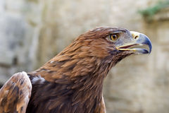 Golden Eagle ,Aquila chrysaetos Royalty Free Stock Photography