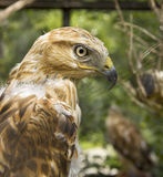 Golden Eagle Aquila Chrysaetos Stock Photography