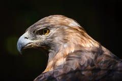 Golden eagle (aquila chrysaetos). Beautiful bird of preys head. Sharp, intense raptors look in this golden eagles eye Stock Photography
