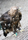 Golden eagle (Aquila chrysaetos) in captivity Royalty Free Stock Photography