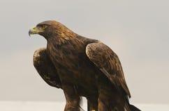 Golden Eagle (Aquila chrysaetos) Royalty Free Stock Image