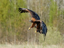 Golden eagle (Aquila chrysaetos) Stock Photography