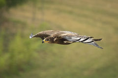 Golden eagle, Aquila chrysaetos, flying Royalty Free Stock Photo